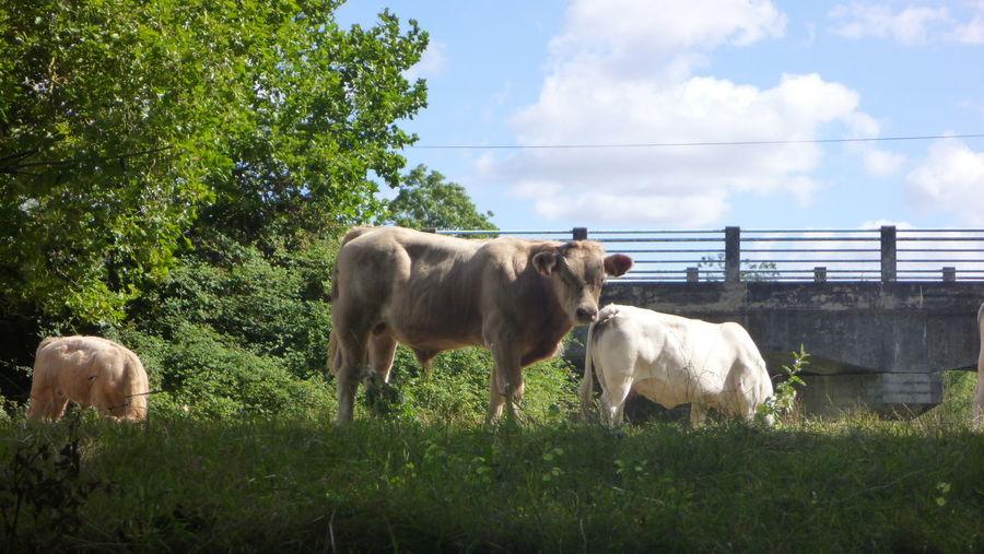 Animal Themes Cows Farm Animal Grass Herbivorous Nature Animal Animal Photography Calm Tranquility