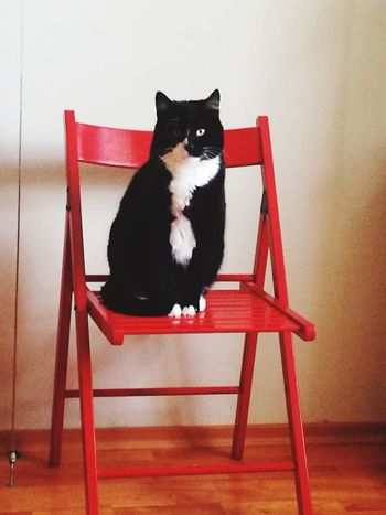 Pets Sitting Feline Domestic Cat Red Portrait Chair Black Color Looking At Camera