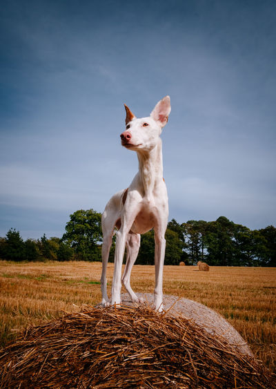 View of dog standing on field against sky