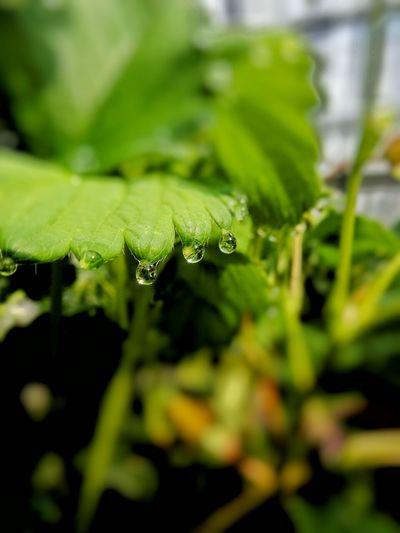 イチゴの葉&雫たち Cute Japan EyeEm Nature Lover Boke Macro Photography Waterdrops Macro Green Natural Photo Morning Spring Strawberry Macrophotography Macro_collection Macrolove