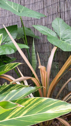Elephant Ear Plant New Growth that new leaf came out in the past 2 days Backyard Plants Cordeline Variagated Ginger Bamboo Fence Shades Of Green  Peach Color