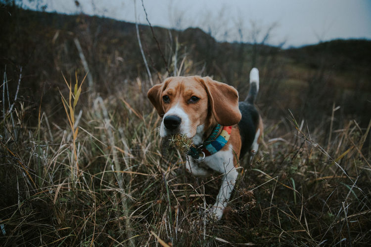 Nuca the beagle Run Animal Themes Beagle Close-up Day Dog Domestic Animals Focus On Foreground Grass Looking At Camera Mammal Nature No People One Animal Outdoors Pets Portrait Sky