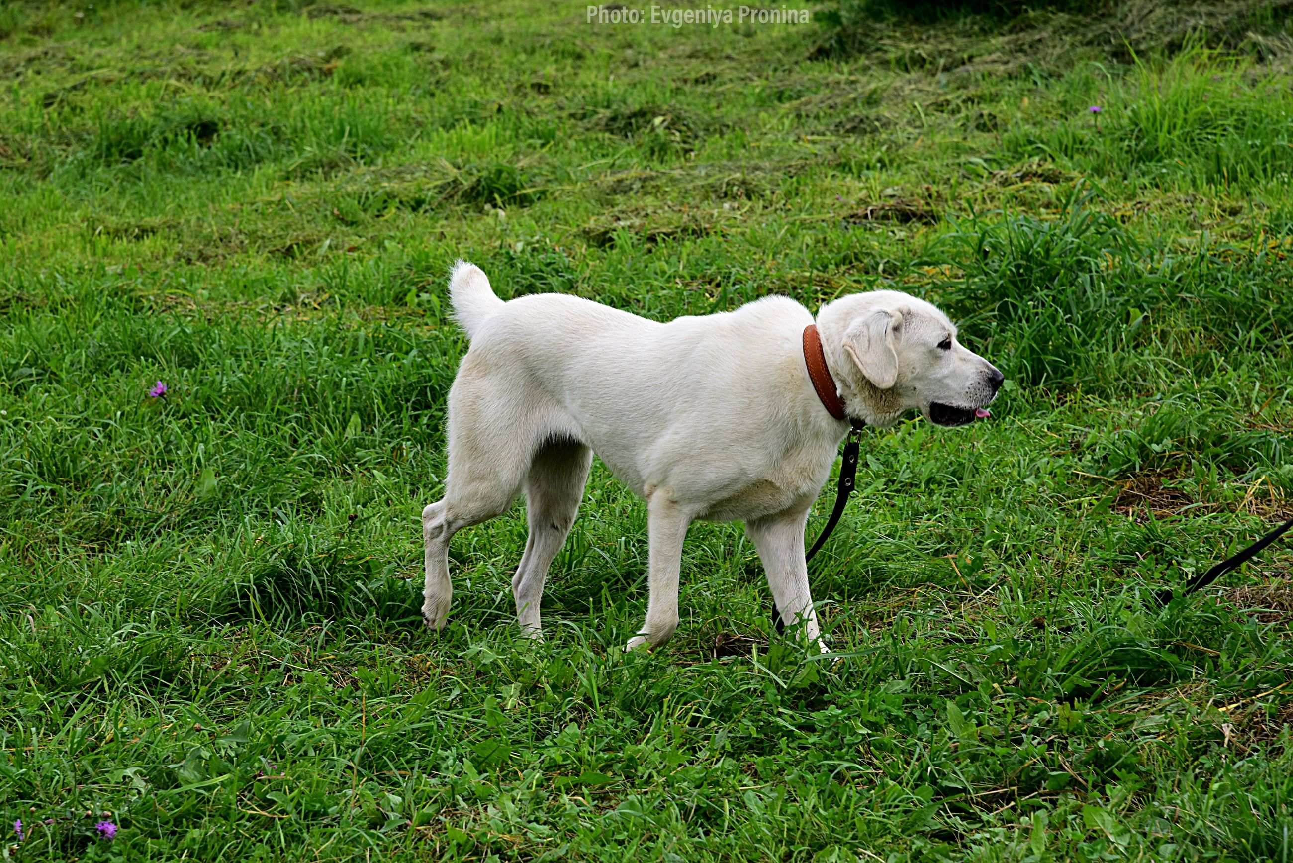 domestic, pets, domestic animals, one animal, animal themes, mammal, animal, canine, dog, grass, plant, vertebrate, land, field, green color, nature, no people, standing, full length, day