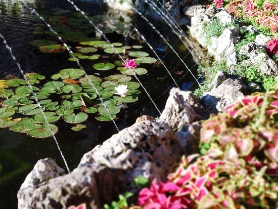 Summer 2 - no filter Park Lake Water Green Color Pink Color Life Rock City Water Flower Rock - Object Spider Web Prickly Pear Cactus Close-up Plant Water Lily Cactus Insect Cosmos Flower