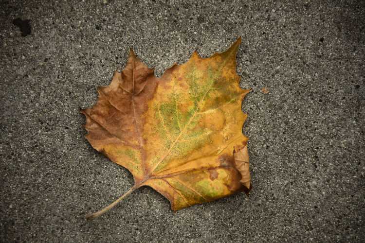 High angle view of maple leaf on fallen leaves