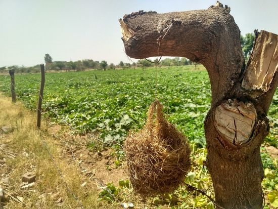 Agriculture Field Tree Outdoors Day No People Nature Sky Mammal Rural Scene Natural Beauty Nature Photography Plant Nature Photography India Wooden Texture Wood Nesting Birds Next Nest In Tree Nest Birdhouse Birds Animal Themes
