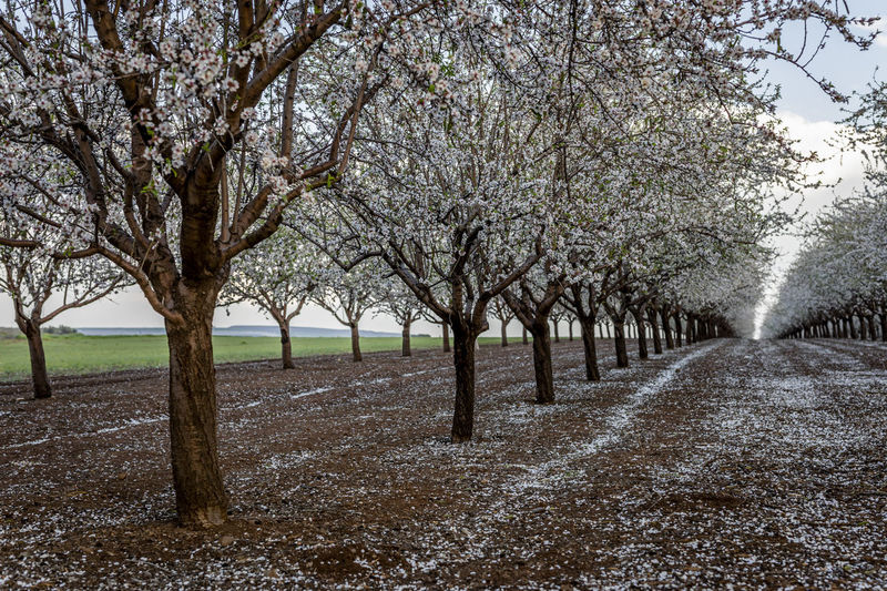 View of cherry blossom trees on landscape