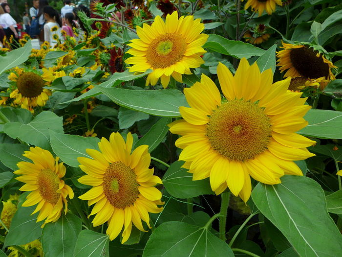Beauty In Nature Close-up Day Flower Flower Head Flowering Plant Fragility Freshness Growth High Angle View Inflorescence Leaf Nature No People Outdoors Petal Plant Plant Part Pollen Sunflower Sunflower Bloom Vulnerability  Yellow