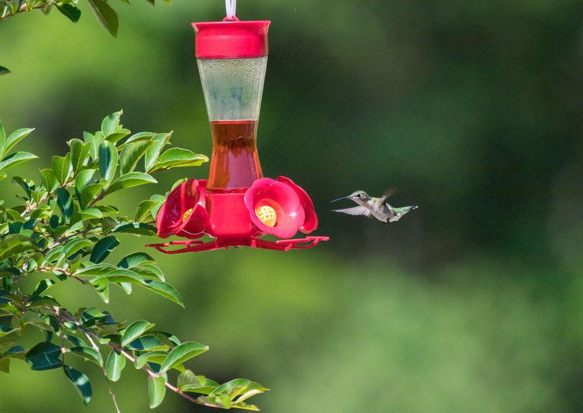 Hummingbird Nature Red Tranquility Animals Bird Closeup Feeder Flight Hummingbird Outdoors Wildlife