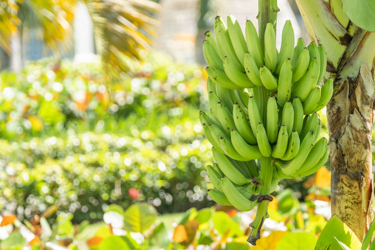 Green Color Food And Drink Growth Freshness Plant Healthy Eating Food Focus On Foreground Day No People Nature Close-up Fruit Wellbeing Banana Beauty In Nature Bunch Outdoors Tree Flower Tropical Fruit Tropical Climate Copy Space Large Group Of Objects Hanging