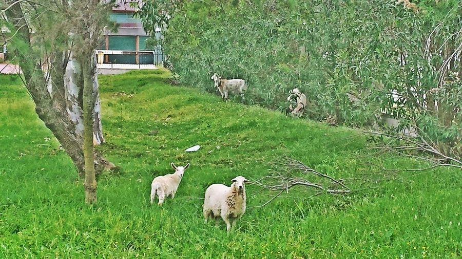 Goats and sheeps !! Palairos