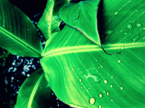 Banana tree leaf. Photography Banana Bananatree Waterdroplets Afterrain Morning Nature Garden