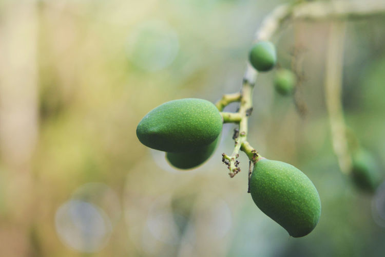 Green Mango Mango Close-up Day Focus On Foreground Food Food And Drink Freshness Fruit Green Color Growth Healthy Eating Leaf Nature No People Outdoors Plant Plant Part Tree Unripe Wellbeing