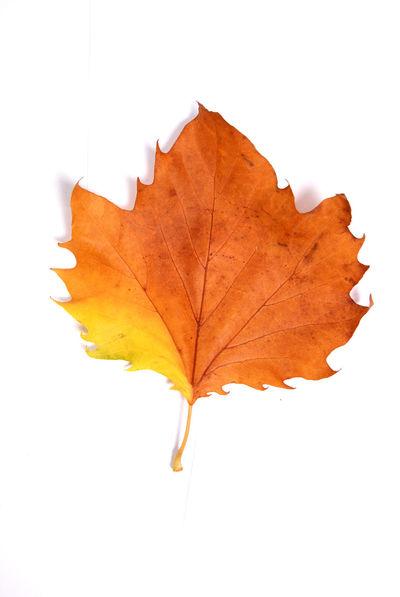 leaf Autumn Close-up Day Leaf Leaf 🍂 Maple Maple Leaf Nature No People Pushpin White Background