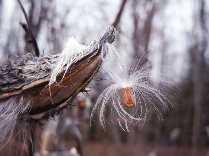 Close-up of milkweed seed in barren landscape
