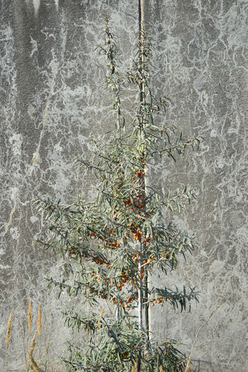 Amager Fælled Autumn Autumn colors Berries Hippophae Rhamnoides Orange Urban Nature Concrete Wall Grey Pattern Plant Sea Buckthorn Tree