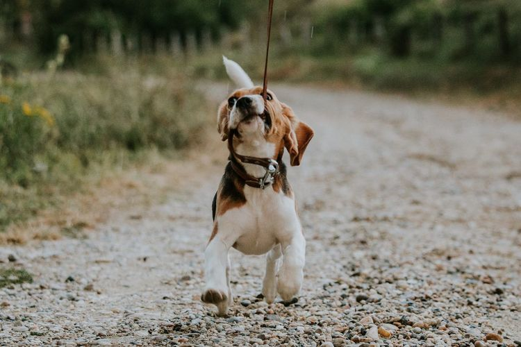 Funny puppy dog Beagles  Beagle Dogs Of EyeEm Dogs Animals In The Wild Animals One Animal Animal Animal Themes Mammal Pets Dog Vertebrate Canine Domestic Land Domestic Animals Nature Day No People Sand Outdoors Motion Running Plant Full Length