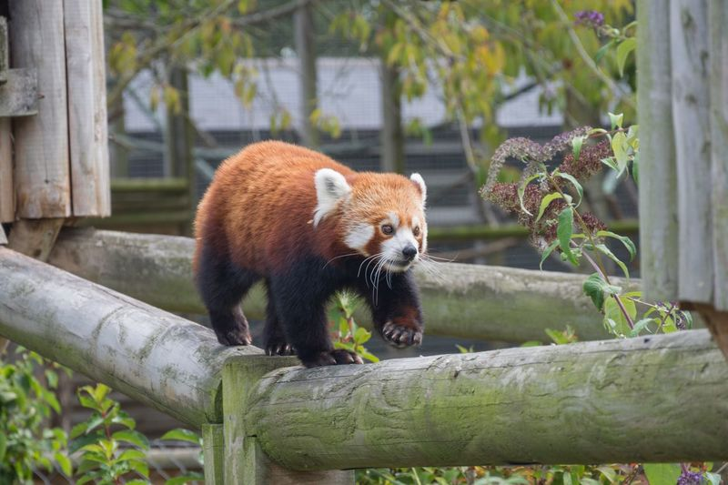 Red Panda One Animal Animals In The Wild Red Panda No People Nature Outdoors Beauty In Nature Landscape Autumn Photography Nikon Scenics Lifeisbeautiful Colours