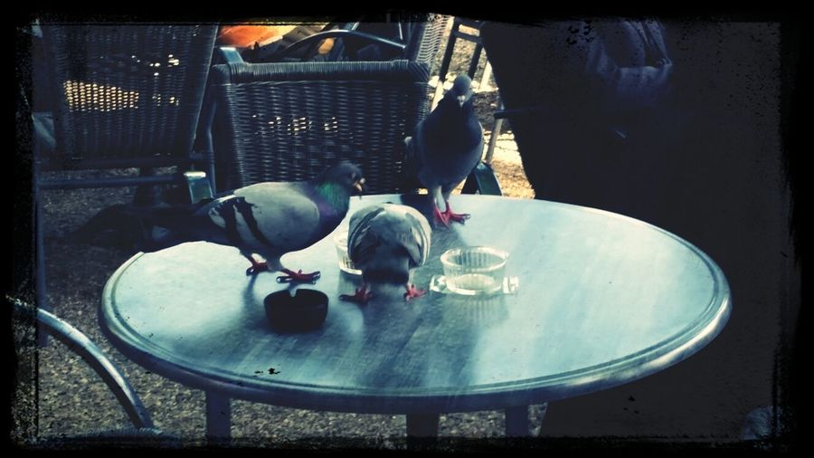Pigeons fighting for peanuts.