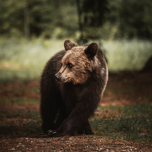 Bear looking away on land in forest