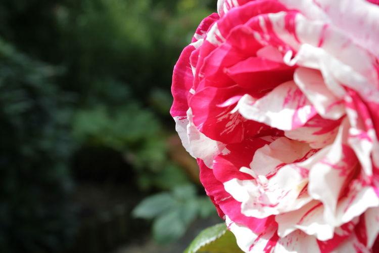 Ripple Rose's