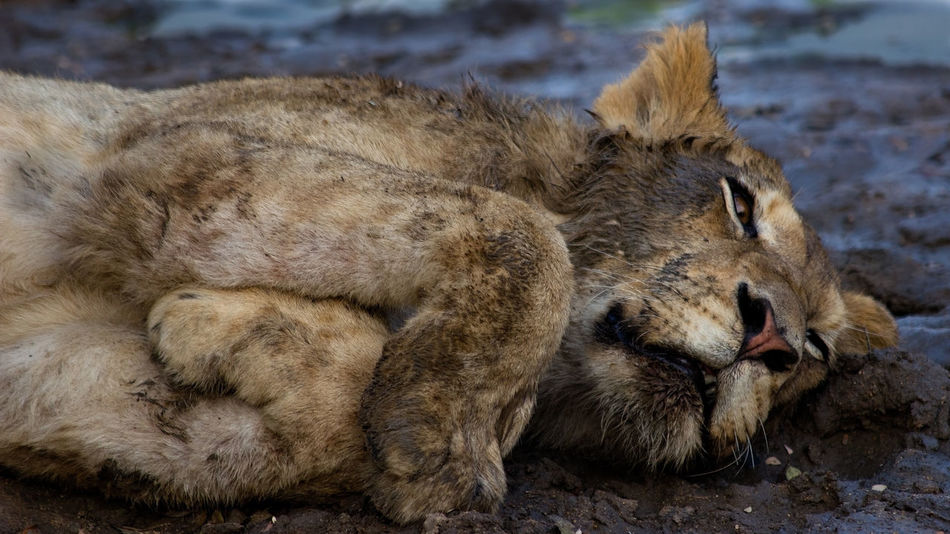 Dirty lioness barely awake in the river bed Animal Themes Animal Wildlife Animals In The Wild Close-up Day Dirty Lion Lion - Feline Lioness Lying Down Mammal Mud Bath Nature No People Outdoors Relaxation