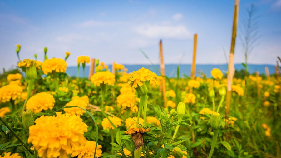 Yellow Flower Flowering Plant Plant Growth Beauty In Nature Field Sky Land Freshness Agriculture Fragility Landscape Vulnerability  Nature Crop  Rural Scene No People Scenics - Nature Day Flower Head Outdoors Flowerbed Lopburi Thailand