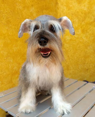 Pet Portraits Domestic Animals Animal Themes One Animal Dog Pets Puppy Schnauzers