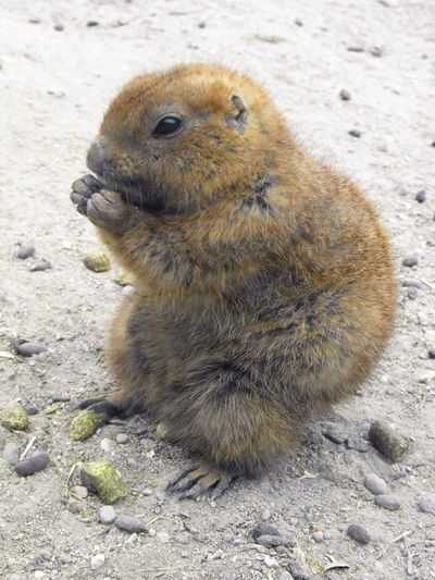 Animal Themes Brown Close-up Cute Eating Focus On Foreground Hungry Looking Away Mammal Nature No People One Animal Outdoors Portrait Prairie Prairie Dog Prairie Dogs Rodent Sitting Wildlife Zoology