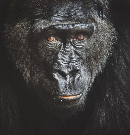 Close-up portrait of gorilla