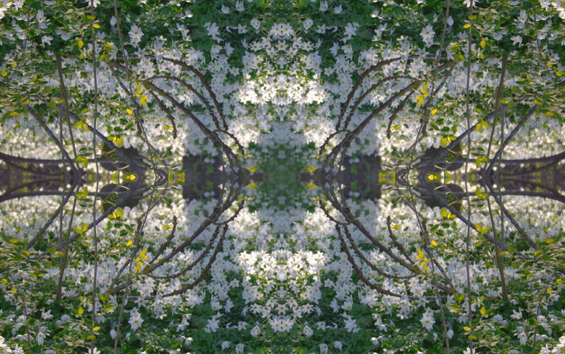 Land of wood anemones Abundance Beauty In Nature Blooming Blossom Botany Close-up Day Flower Flower Head Fragility Freshness Green Color Growing Growth In Bloom Lush Foliage Mirrored Nature Outdoors Petal Plant Tranquility White White Color Wood Anemones