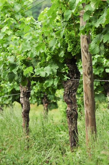 Vines Green Fruit 🍏 Green Grapes Growth Unripe Grapes Vine - Plant Vine Growing Vineyard Cultivation Viniculture White Wine
