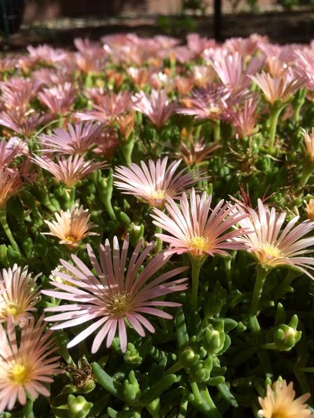 Flowers Ground Cover ICE PLANT Pink Summer