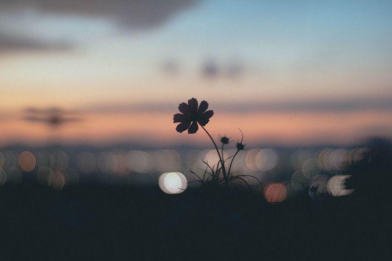 秋桜 コスモス 秋桜 Cosmos Flower 日本 Japan 新潟 Niigata 写真好きな人と繋がりたい ファインダー越しの私の世界 Flower Tree Sunset Flower Head Dusk Sky Close-up