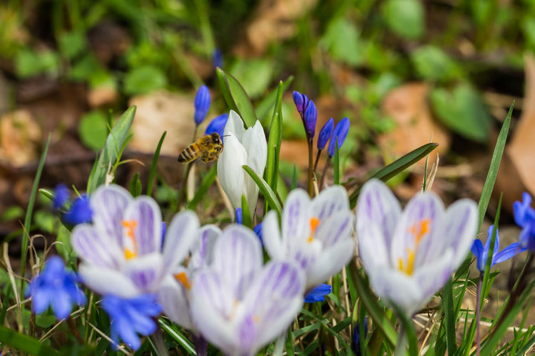 Animal Themes Beauty In Nature Bee Bee 🐝 Blooming Close-up Crocus Flower Flower Head Flying Fragility Freshness Growth Insect Nature One Animal Outdoors Petal Plant Selective Focus Spring Spring 2017 Spring Flowers Springtime