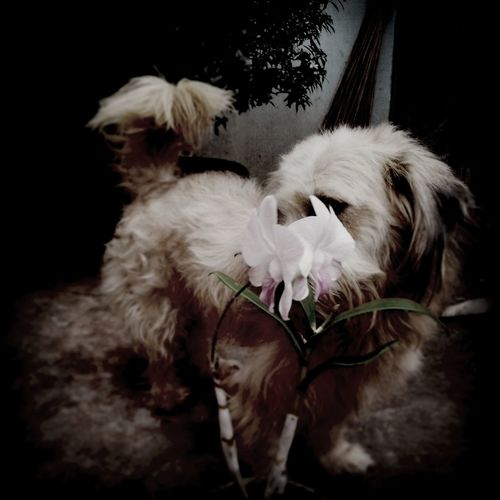 for the love of fluppy the dog and flower Orchid Fluppy Dog Love ♥