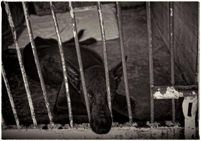Black And White Collection  Blackandwhite Blackandwhite Photography Dog❤ Kennel Dog Koh Phangan Metal Sad & Lonely Sad Face Thailand Thailandtravel