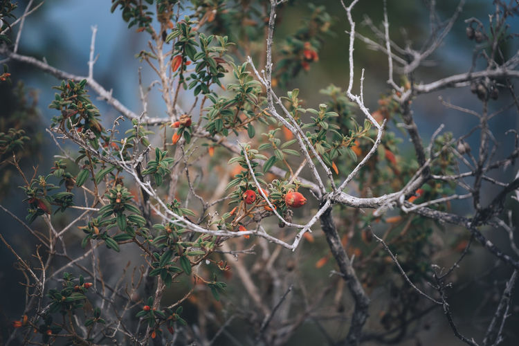 Plant Tree Growth Branch Focus On Foreground Day Nature No People Beauty In Nature Fruit Healthy Eating Selective Focus Plant Part Leaf Twig Outdoors Close-up Food Berry Fruit Food And Drink Berry Wallpaper Background Chaos Springtime Decadence