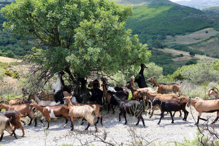 Cretan goats on tree