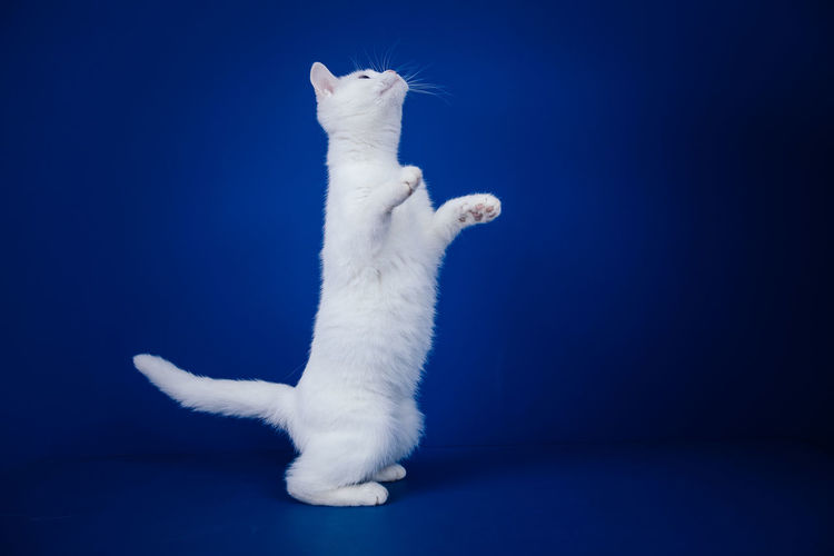 White cat looking away against blue background