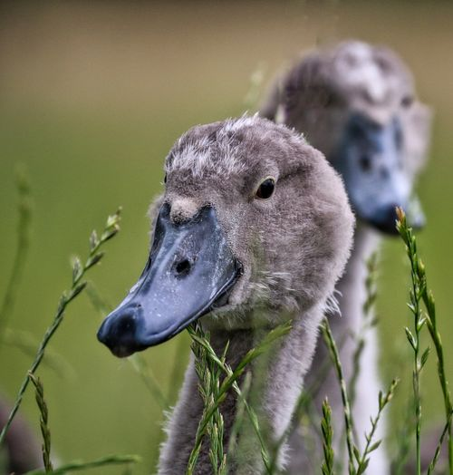 Close-Up Of Cygnets