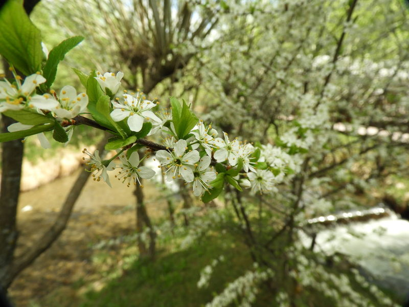 Cherry Blossom Close-up #Harghita #Hargita #PalaPhoto #SourCherry #Transylvania #cherryblossom #godiscoversummer #miniwaterfall #siamdiscovery Moments #sourcherryblossom Beauty In Nature Cherry Blossom Close-up Flower Flowering Plant Nature Plant Selective Focus