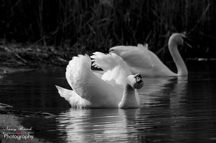 Animal Photography Animals Swan Swans Water Sea Shooting Good Day ... i love this picture so much. .. the swan is very crazy .. yes.. hehe