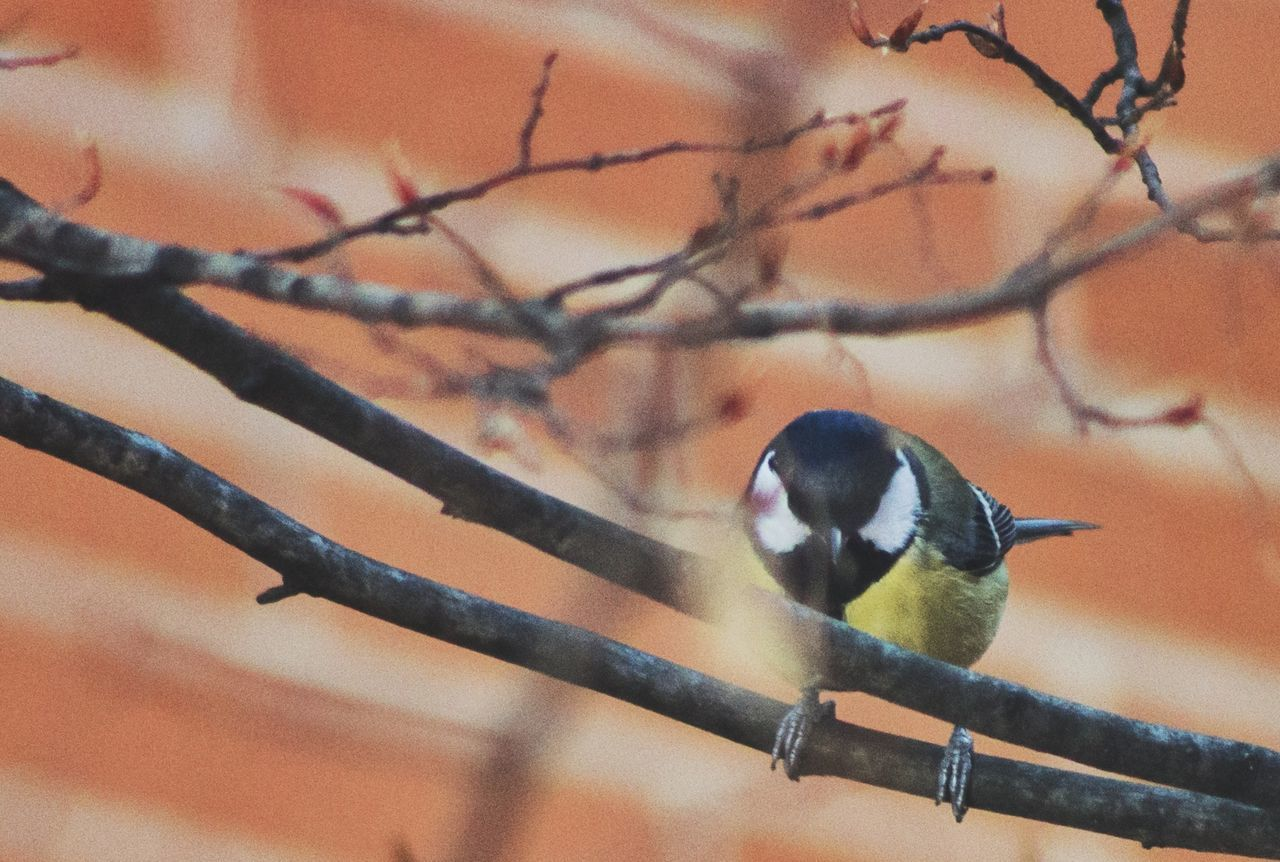 bird, one animal, animal themes, perching, animals in the wild, animal wildlife, focus on foreground, great tit, no people, branch, bluetit, beauty in nature, nature, outdoors, day, tree, close-up