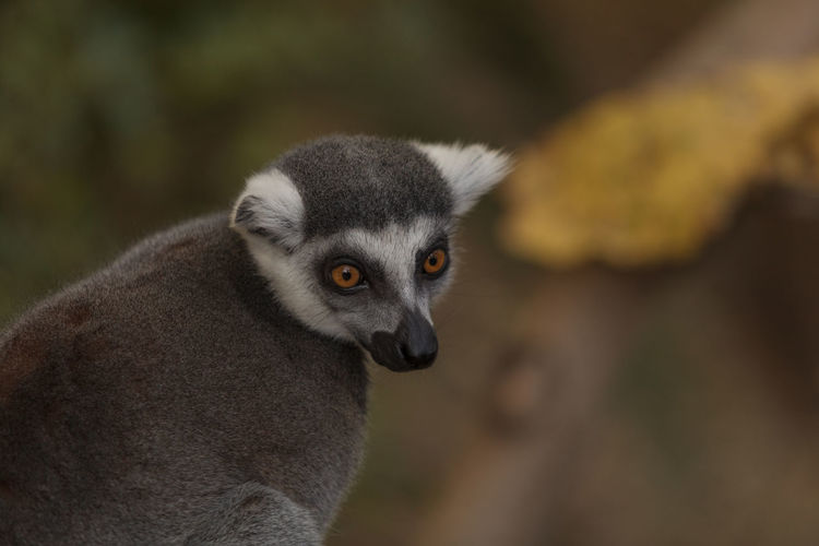 Lemur looking away