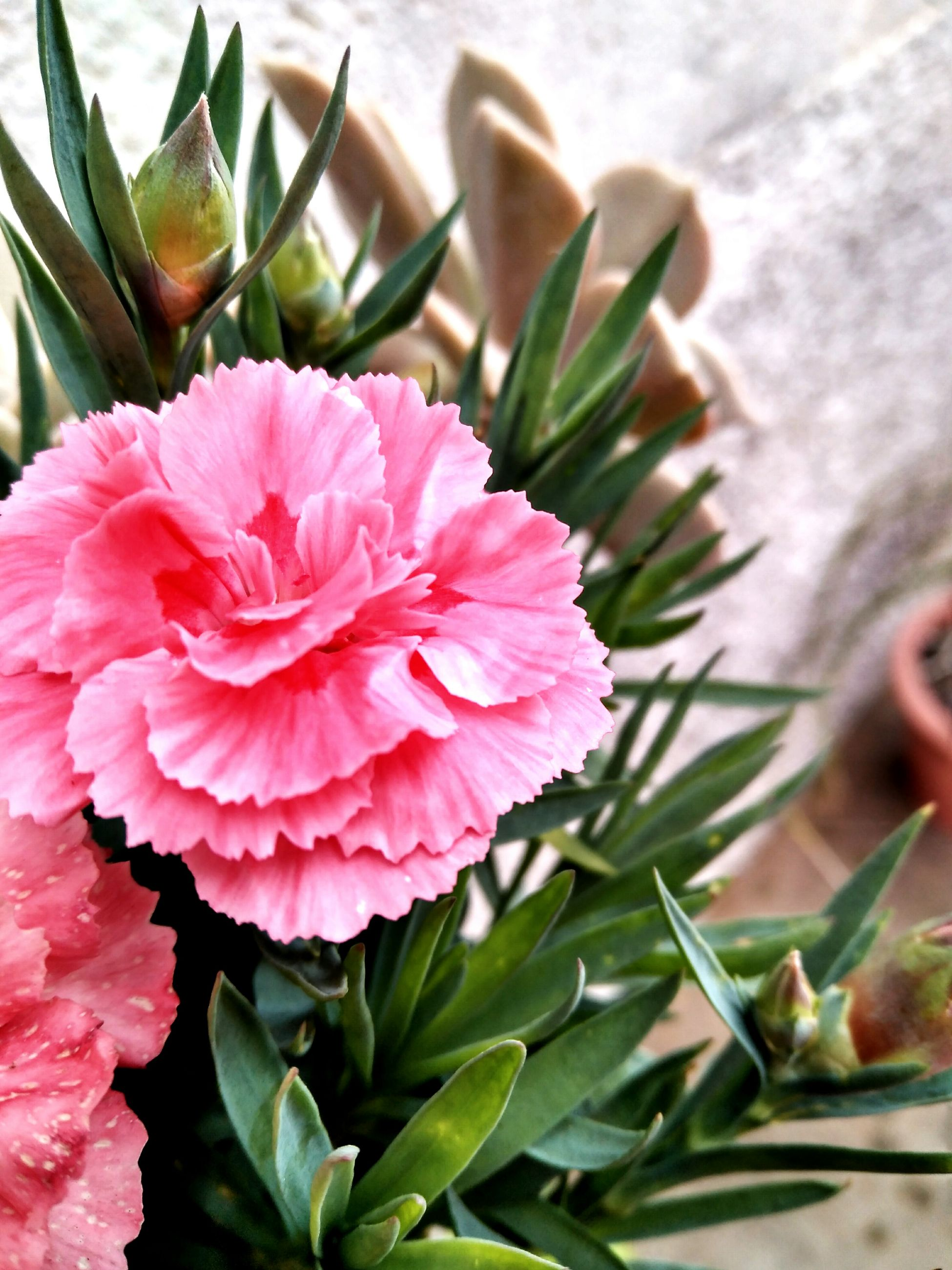flower, beauty in nature, petal, nature, growth, freshness, plant, pink color, close-up, flower head, fragility, leaf, day, outdoors, no people