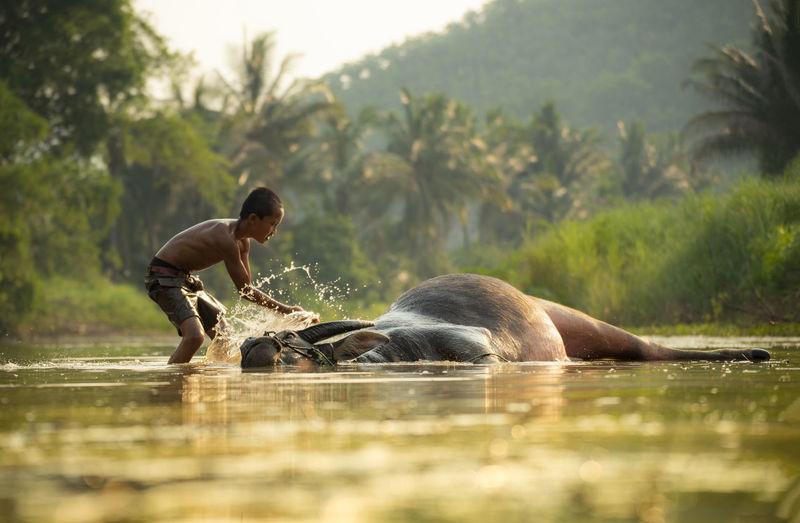 Boy cleaning buffalo in lake