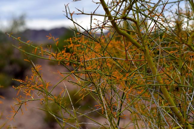 Tree Branch  Desert Plants Bokeh Arizona Bokeh Photography Tree Nature Desert Colors Macro Photography Macro Desert Branches