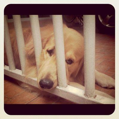 Bored Goldenretriever Hoykong Dog