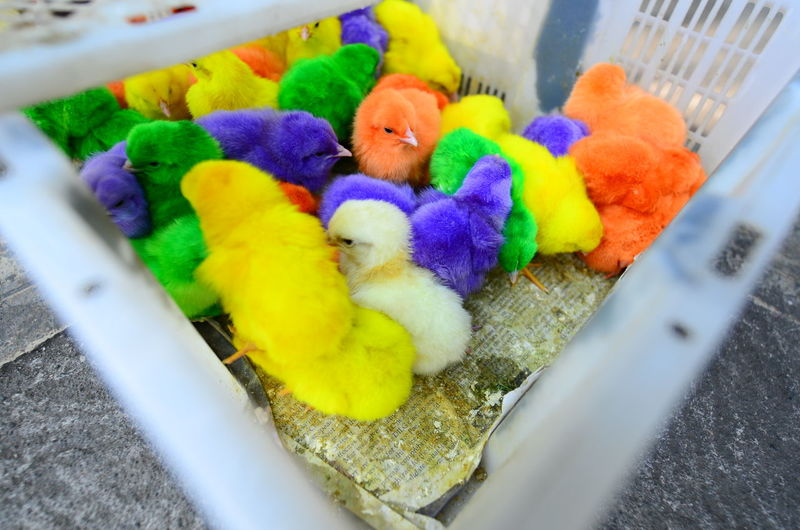 High angle view of colorful baby chickens in cage